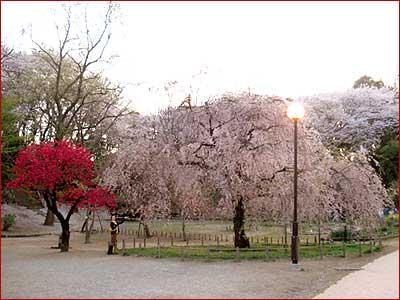 2009桜02