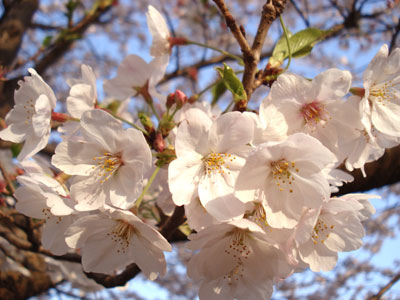 07桜10