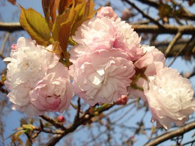 07桜11