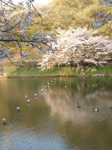 07桜12