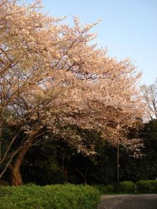07桜13