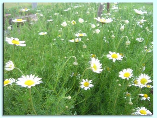 ローマンカモミール*切り花 | ♪...