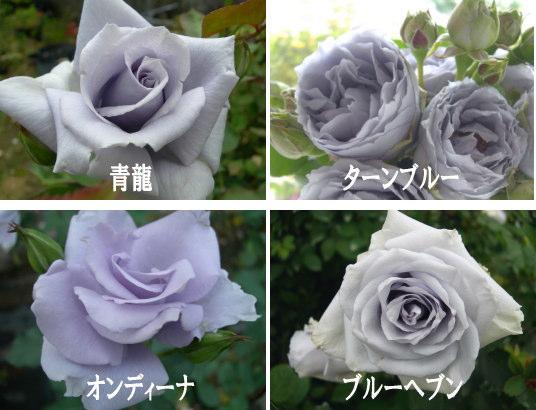青いバラ(遺伝子組換えでない)...