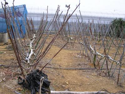 野菜と果樹農家の栽培日記