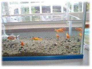 金魚0820