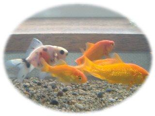 金魚0820up