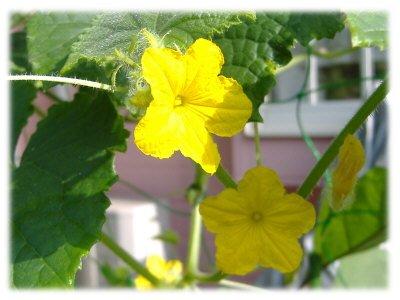 キュウリの花0815