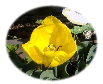 チューリップ黄色070415