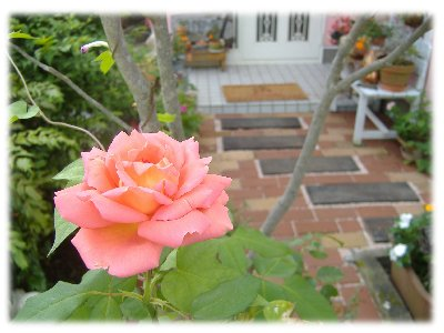 薔薇0923