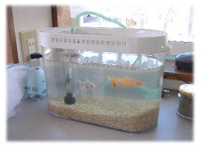 金魚070211