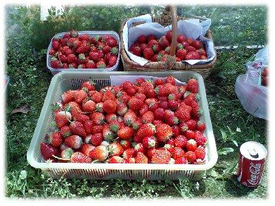 収穫したイチゴ07
