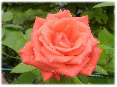 薔薇0822