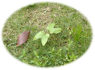 芝にアサガオ