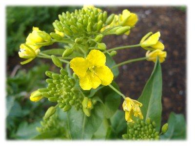 野沢菜の花up
