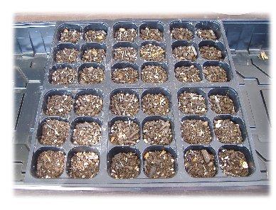マリーゴールドの種蒔き070304