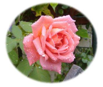 薔薇0918