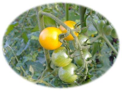 ミニトマト0825