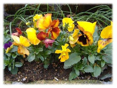 玄関の花壇パンジー070312up