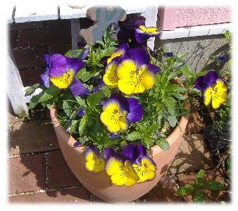 パンジー紫黄070428