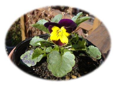 ビオラ開花11251