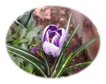 クロッカス紫070325