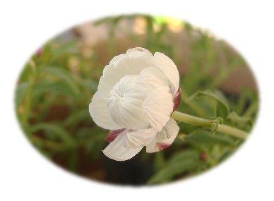 花かんざし070217