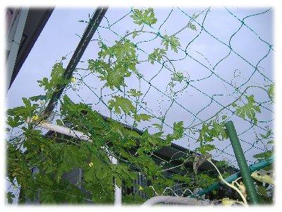 キュウリの網