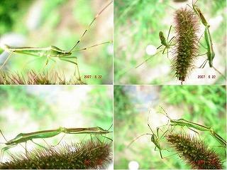 クモヘリカメムシ.jpg