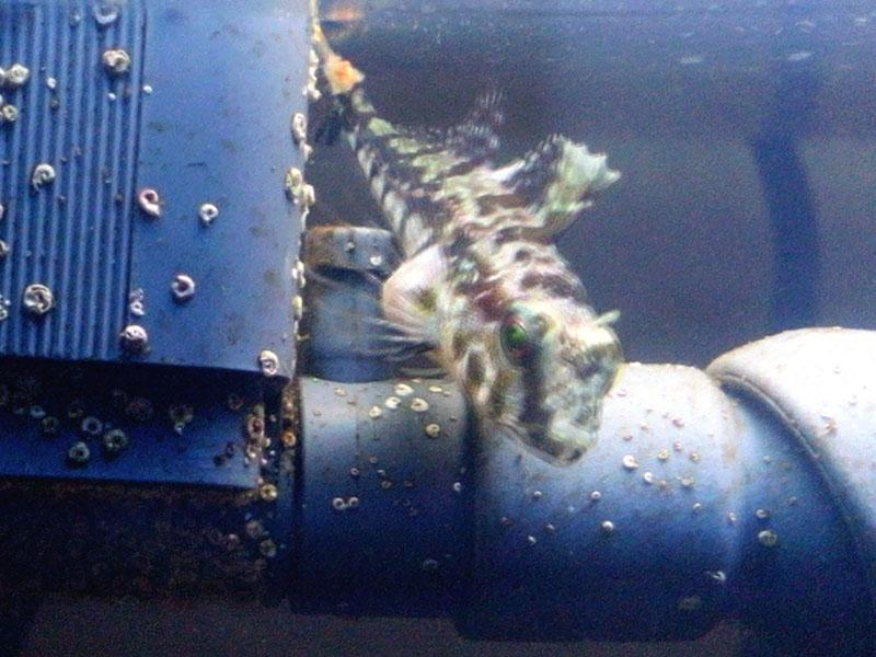 新潟産海水魚