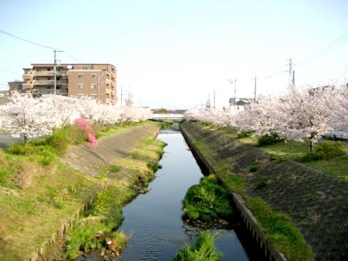 芳川の桜 橋の上から.jpg