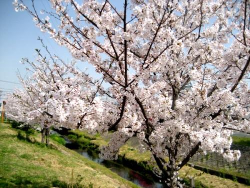 芳川の桜.jpg