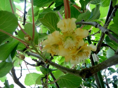 キウイの花.jpg