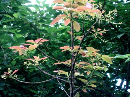 アボカドの木.jpg