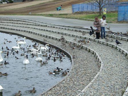 大池白鳥への餌付け