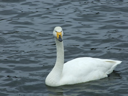 大池の白鳥2