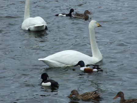 大池の白鳥3