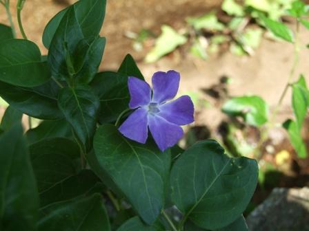 青い花~スミレ?