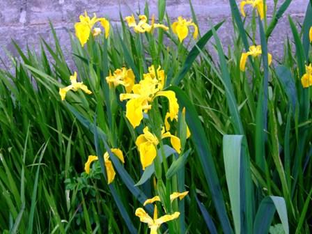 黄色い花~アイリス