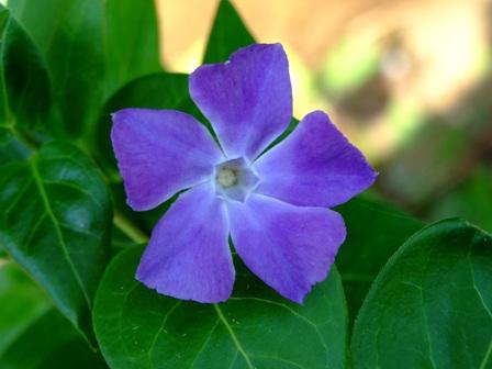 青い花~スミレ・・・かな?