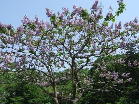 桐の花~笹川流れにて2