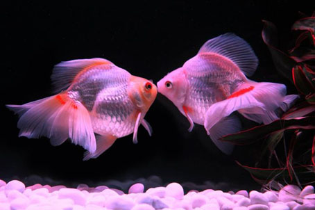 可愛らしい金魚。
