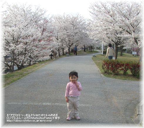 満開の桜とさき