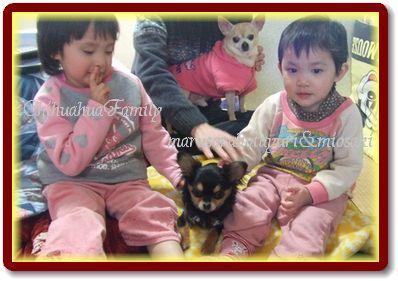 友達の愛犬チワワのくーちゃんと年子ずみおさきとおまけでうちのそらちゃんとダンナ