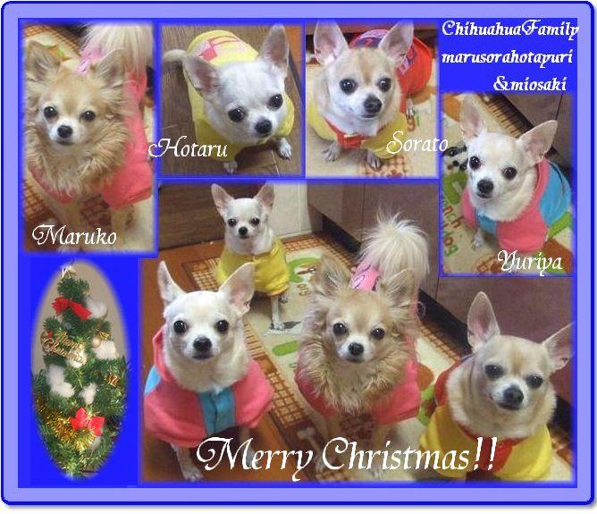 チワワファミリー★メリークリスマス♪ 私からのプレゼントの服を着て(チームまるそら)