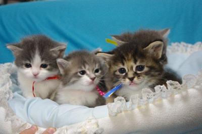 子猫マンチカ兄弟