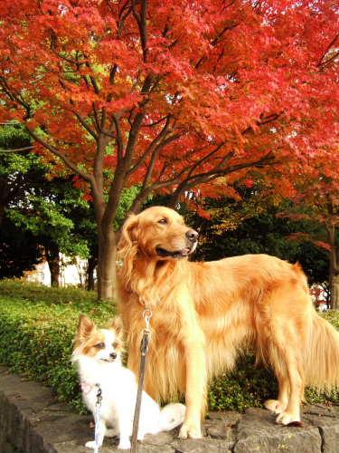 2008_1106  りゅう&そら お気に入りの紅葉.jpg