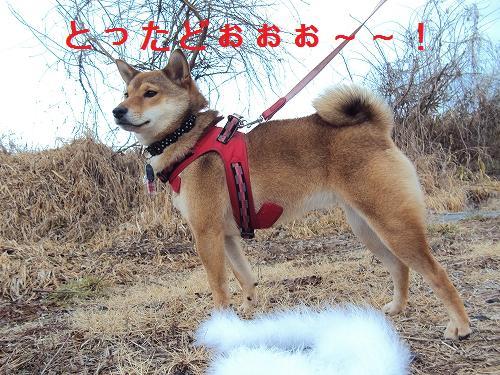 マタギ犬、初獲物!!   転勤柴...