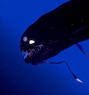 sloanes viperfish