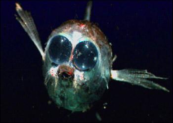 目がでかい魚?