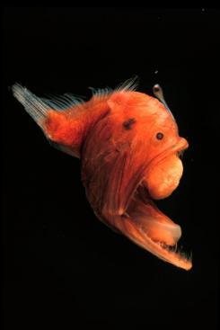 赤い彗星の魚